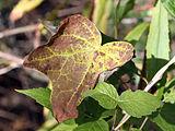 Menispermum canadense 8306.jpg