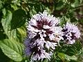 Mentha x piperita var. citrata 'Eau de Cologne Mint' (Labatae) flower.JPG