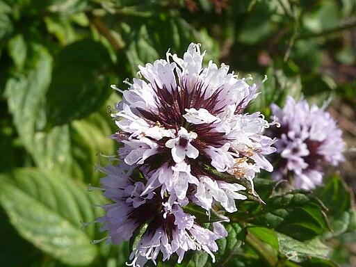 Mentha x piperita var. citrata (Labatae) flower