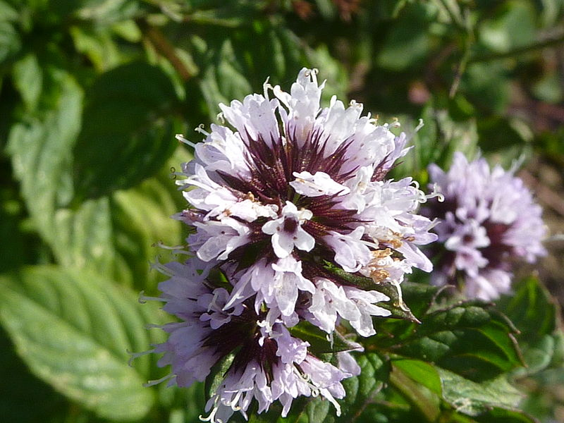 File:Mentha x piperita var. citrata 'Eau de Cologne Mint' (Labatae) flower.JPG