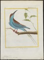Merops bicolor - 1700-1880 - Print - Iconographia Zoologica - Special Collections University of Amsterdam - UBA01 IZ16800315.tif