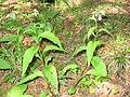 Mertensia paniculata 4-eheep (5097328275).jpg