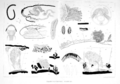 Mesenchytraeus solifugus by Emery.png
