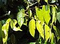 Meteoromyrtus wynaadensis 03.JPG