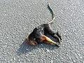 Mico-leão-da-cara-dourada atropelado.jpg