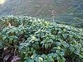 Miconia coriacea-La Soufrière-Guadeloupe.JPG