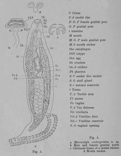 <i>Microcotyle centropristis</i> Species of worms