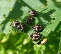 Mid- instar nymphs of Nezara viridula. - Flickr - gailhampshire (1).jpg