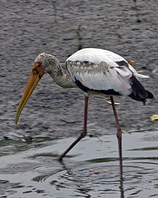 Milky Stork (Mycteria cinerea) - young adult - Flickr - Lip Kee.jpg