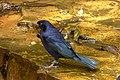 Molothrus bonariensis (Chamón parásito) (15276099440).jpg
