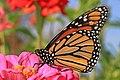 Monarch - Danaus plexippus, Meadowood Farm SRMA, Mason Neck, Virginia (38220397066).jpg