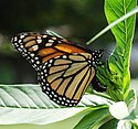 Monarch Butterfly Danaus plexippus Laying Eggs.jpg