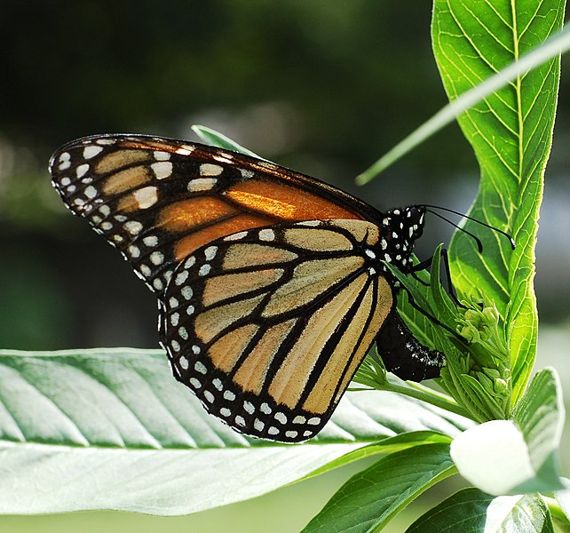 File:Monarch Butterfly Danaus plexippus Laying Eggs.jpg