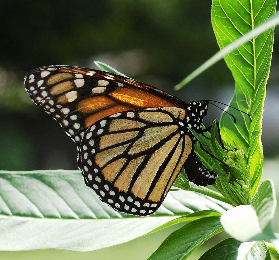 Monarch Butterfly Danaus plexippus Laying Eggs