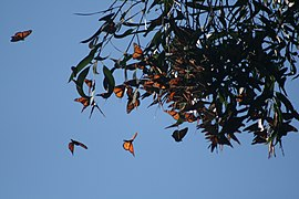 Monarch butterflies cluster in SC 2.JPG