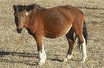 Mongol horse.jpg