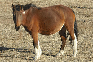 Mongolian horse - Small, shaggy Mongol horse on the steppe where horses are allowed to roam free, browsing at will
