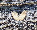 Monochamus galloprovinicalis detail.jpg