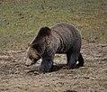 Montana Grizzly Bear.jpg