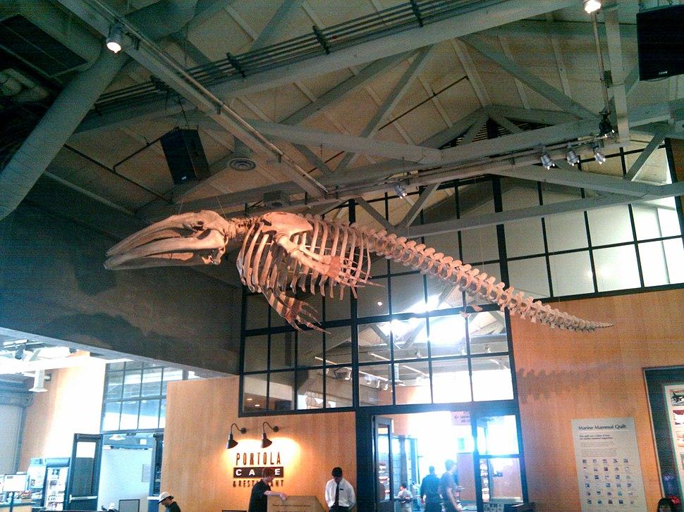 Monterey whale skeleton (4533108540)