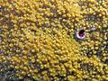 Montipora aequituberculata, coralitos.jpeg