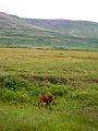 Moose Calf (9511353171).jpg