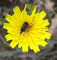 Mordellidae sobre una flor.JPG