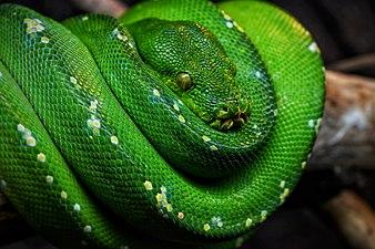 Morelia Viridis Green.jpg