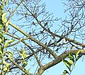 Morey Mansion, Cedar Waxwings in Kapok Tree 03-25-12 (7021577651).jpg