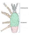 Morfologia externa.png
