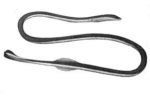 Moringua bicolor