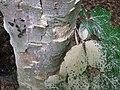 Morscher Baum mit Insektenschaden DSCF4770.jpg