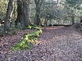 Mossy roots and pony browse line - geograph.org.uk - 1660821.jpg