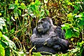 Mountain Gorilla, Bwindi, Uganda (15780779132).jpg