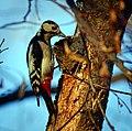 Mrs woodpecker (23824482479).jpg