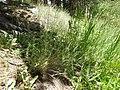 Muhlenbergia richardsonis (7882016268).jpg