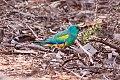 Mulga Parrot (Psephotus varius) (8079605154).jpg