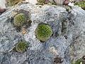 Muschio su pietra.jpg