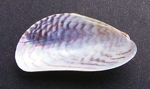 Arcuatula senhousia - Interior of left valve of Asian date mussel