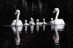 Mute swans (Cygnus olor) and cygnets.jpg