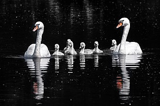 Mute swan - Mute swans with cygnets in Oxfordshire