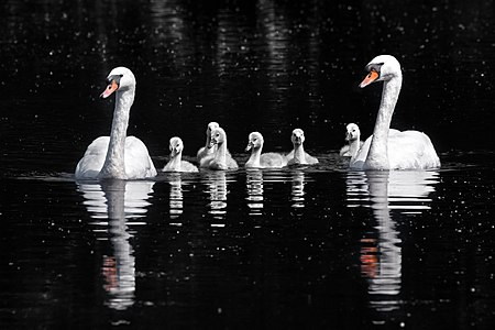 A pair of mute swans (Cygnus olor22) and six cygnets