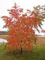 Muurame - tree.jpg