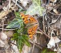 My first Spring Comma - Flickr - gailhampshire.jpg