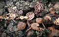 Mycena corticola (Pers.) Gray 828429.jpg