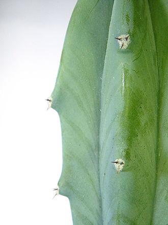 Areole - Image: Myrtillocatus geometrizans closeup