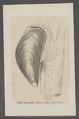 Mytilus edulis - - Print - Iconographia Zoologica - Special Collections University of Amsterdam - UBAINV0274 076 01 0030.tif