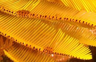 Elegant feather star - Image: Myzostoma fuscomaculatum at Percys Hole detail