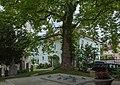 NDOÖ 285 Platane Alter Friedhof Mauthausen.jpg