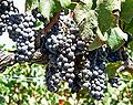 Napa Valley grapes 1.jpg